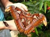 Μια πολύ μεγάλη πεταλούδα!